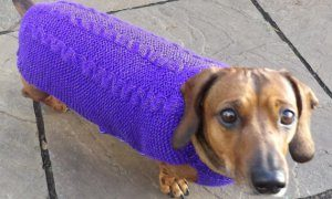 Dachsund in purple sweater